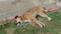 Düzce'de Köpekleri Zehirlediler