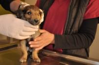 YAVRU KÖPEK - Silahla Yaralanmış Ve Tek Gözü Görmeyen Köpeklerin Tedavileri Sürüyor