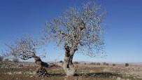 SÜRGÜN - Gaziantep'in Anıt Ağaçları Belirlendi