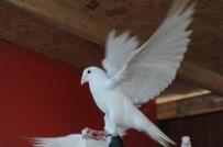 KUŞ GRIBI - (ÖZEL HABER) Bursa'da Kuş Gribi İddiaları Yalanlandı
