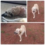PROTEZ BACAK - Yaralı Halde Bulunan Köpek Ve Yavrularına Futbolcular Sahip Çıktı