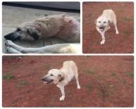 PROTEZ BACAK - Zavallı Köpek Ve Yavrularına Eren Derdiyok Sahip Çıktı
