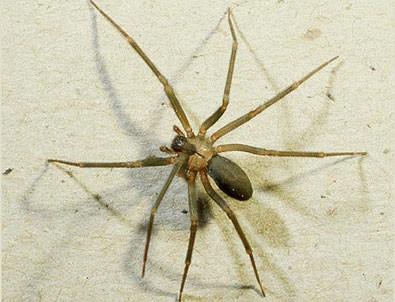 Felç tedavisine örümcek zehri