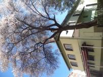 CAMİ BAHÇESİ - Bu Badem Ağacı Her Yıl Erken Açmaya Abone Gibi