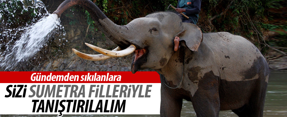 Endonezyadaki Sumatra Filleri