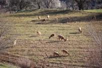 DAĞ KEÇİSİ - Köylüler Duyarlılık Gösterdi, Dağ Keçileri Tarlalara Kadar İndi