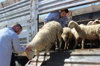 İSMAIL KAYA - Genç Çiftçilere Hibe Koyun Desteği