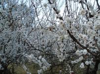 ALI KAYA - Kayısı Ağaçları Erken Çiçek Açtı