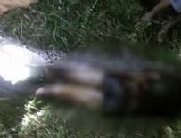 ENDONEZYA - Korkunç olay! Piton adamı yuttu