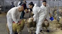 FLAMAN - Şoksuz Hayvan Kesimi Yasaklanıyor