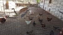 TARIM BAKANLIĞI - TİKA'dan Gine Bissaulu Kadınlara Tavukçuluk Geliştirme Projesi