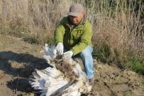 FEN FAKÜLTESİ - Yunanistan'ın Seferber Olduğu Tepeli Pelikan Söke Ovası'nda Ölü Bulundu