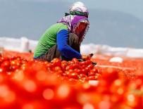 ŞEMSI BAYRAKTAR - TZOB Genel Başkanı Bayraktar: Domatesin ekonomiye katkısı 12,7 milyar lira