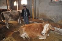 Erzincan'da Dünyaya Gelen Çift Başlı, 8 Bacaklı Buzağı Görenleri Şaşırttı