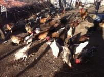 Akdağmadeni'nde Vatandaşa Kene Avcısı 'Atak' Cinsi Tavuk Dağıtılacak