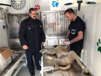 EDREMIT BELEDIYESI - Edremit'te Sokak Köpeklerini Kısırlaştırma Çalışması