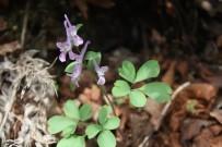 ABANT - Küre Dağlarında Yeni Bir Endemik Bitki Türü Daha