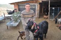 ÇAĞATAY HALIM - Keçiler Artık Daha Verimli