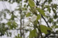 UMUTLU - Bu Sene Meyve Bolluğu Yaşanacak