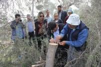 BELÖREN - Adana'da 15 Bin Zeytin Ağacı Aşılanacak