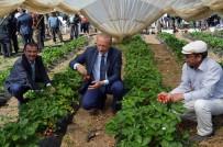 ESNAF VE SANATKARLAR ODASı - Didim'de 'Akköy Çileğinin' Tanıtımı İçin Hasat Şenliği Düzenlendi