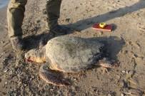 GÜZELÇAMLı - Kuşadası Körfezi'nde 2 Caretta Caretta Ölü Bulundu