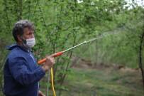Giresun'da Fındıkta 'Külleme Hastalığı' İle Mücadele Devam Ediyor