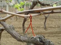 CELEP - Üzüm Bağları Salkım Güvesinden Kurtulacak