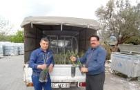 ORGANIK TARıM - Yunusemreli Üreticilere 10 Bin Zeytin Fidanı Dağıtıldı