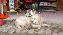 Kedi İle Köpeğin Dostluğunu Gören Şaşırıyor