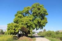 300 Yıllık Anıt Ağaç İçin Seferberlik