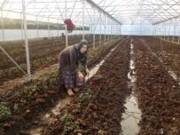 AYRIMCILIK - Samsun'da Genç Çiftçi Desteği Alanlardan Yüzde 76'Sı Kadın
