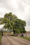 YÜKSEK GERİLİM - 300 Yıllık Anıt Ağaç İçin Kanalizasyon Hattının Güzergahı Değiştirildi, Yüksek Gerilim Hattı Toprak Altına Alındı