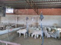 Koyun Kuaföründen Koyunlara Bahar Makyajı