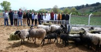 Kuzu Makinesi Romanov Koyunlarına Üniversitelerden Büyük İlgi