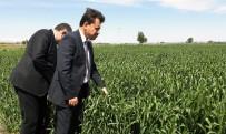 ORGANIK TARıM - Türkiye'nin En Büyük Tarım Cezaevinde İlk Başaklar Boy Verdi