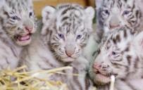 BENGAL - Dört Bengal kaplan yavrusu görücüye çıktı
