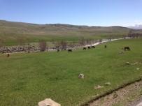 YAĞAN - Ağrı'da Hayvanlar Meralara Çıktı