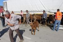 KARAYOLLARI - Amasya'da Çarpışan 2 Tırdaki Hayvanlar Yola Savruldu