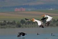 PELIKAN - Amasya'da 'Pelikan Adası'