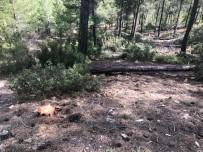 ORMAN İŞÇİSİ - Kestiği Ağacın Altında Kalan Orman İşçisi Öldü