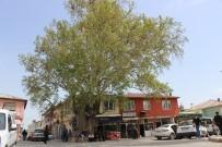 DOĞANLı - 600 Yıllık Çınar Ağacı Tut İlçesinin Simgesi