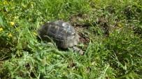 HAYVAN - Bahçesinde Kaplumbağa Besliyor
