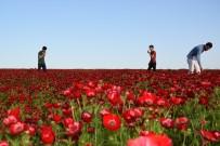 VİRANŞEHİR - Gelincik Çiçekleri Güneydoğu'yu Kızıla Boyadı