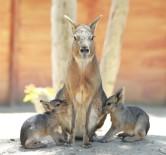 PATAGONYA - İzmir Doğal Yaşam Parkı'nda İkiz Patagonya Tavşanı Sevinci