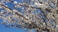 Meyve Ağaçları Çiçek Açtı Ziraat Odası Başkanı 'Don' Tehlikesine Karşı Uyardı