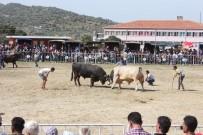 BOĞA GÜREŞİ - Ege'de Boğalar Arenaya İndi