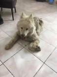 ORMANA - Ölmek Üzere Bulunan Cins Köpek Yeniden Hayata Döndü