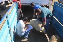 KARANTINA - Silopi'de 24 Genç Çiftçiye 960 Küçükbaş Hayvan Dağıtıldı