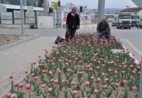 LALE SOĞANI - Simav'da 30 Bin Lale Soğanı Dikildi